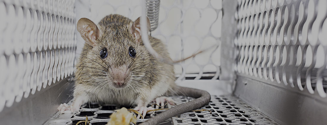 rodent-control-service-big-img