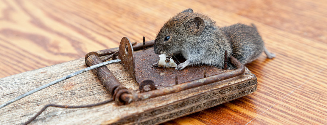 rodents-rats-mice-img