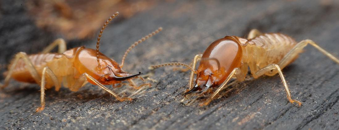 termites-img