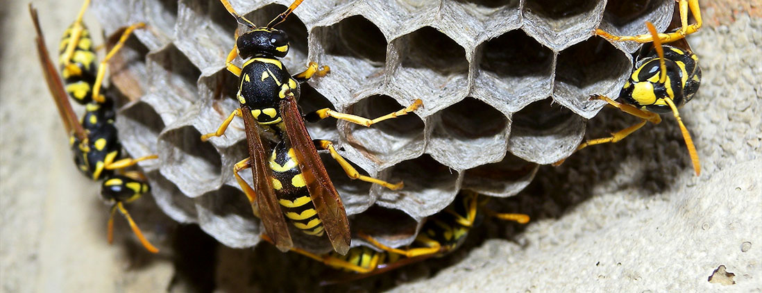 wasps-img